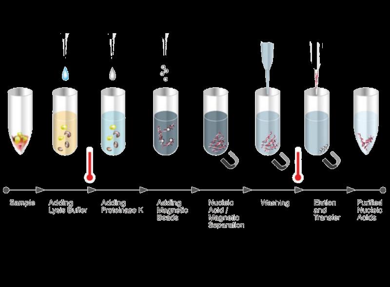 Extracción y purificación de ADN; Introducción e importancia de la extracción del ADN