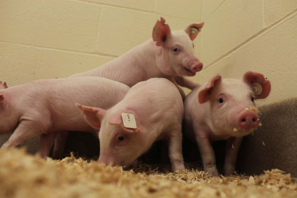 Secuenciación del síndrome reproductivo y respiratorio porcino para la interpretación correcta en los programas de control